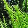 Sword Ferns in Sun