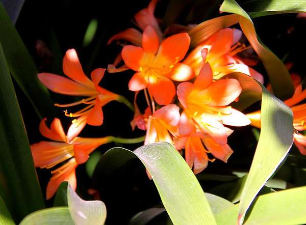 Clivia - Flowers at La Aurora.