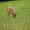 A deer grazing in Cades Cove in the National Park