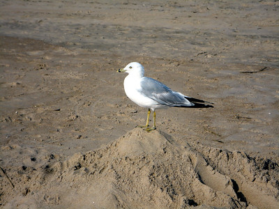 Sea Gull (King of the Mound)