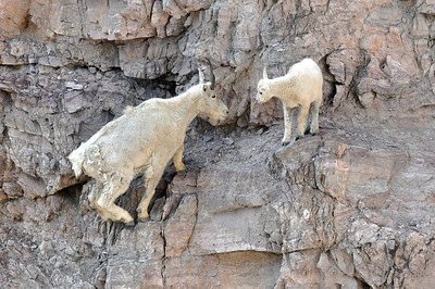 Goat lick Goats.