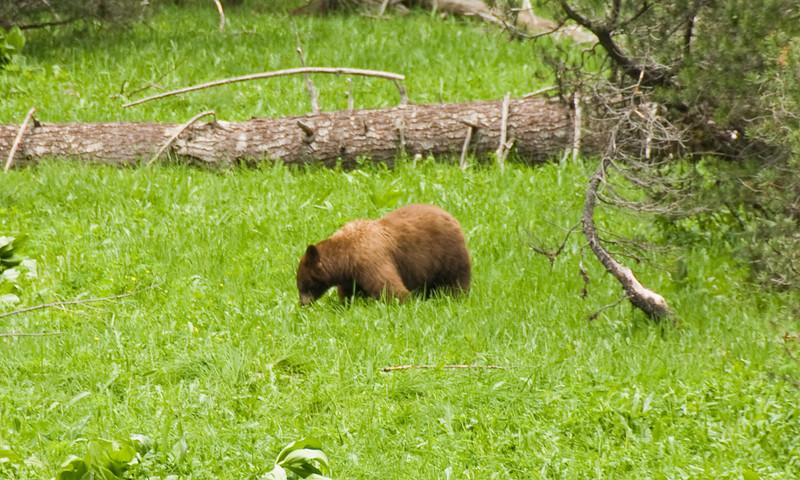 Bear in Yosemite.  Sam overestimated her own abilities.