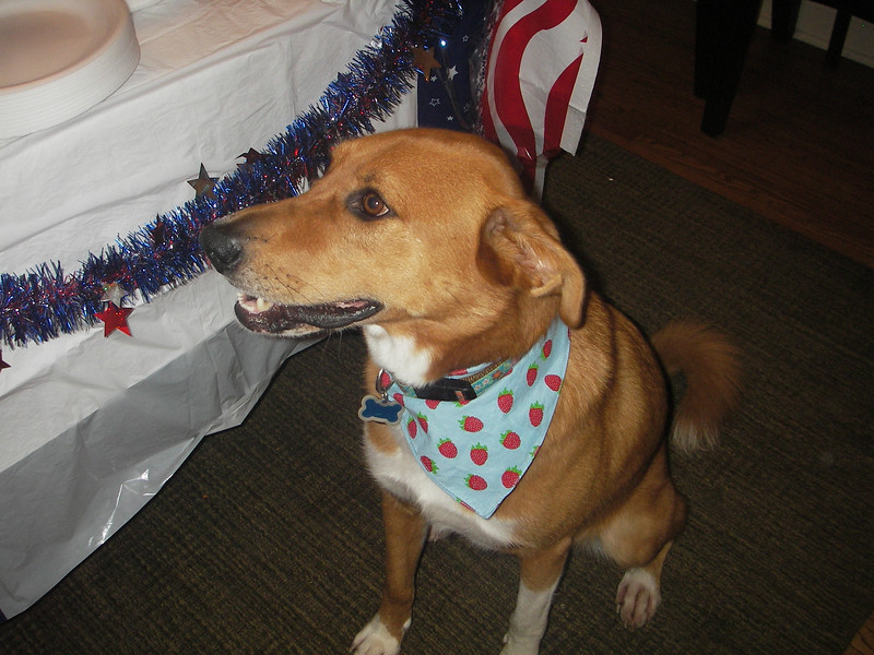 4th of July pup!
