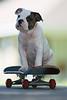 Gordo Bulldog  Puppy