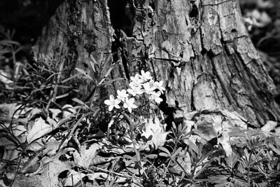 Spring beauty's in the woods.