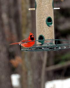 Cardinal on Christmas morning