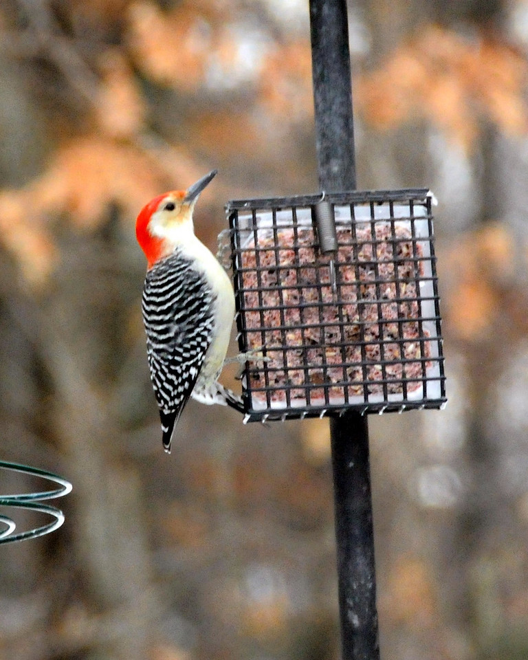 red bellied woodpecker at our bird feeder Christmas morning