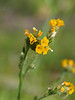 "Fiddleneck <a href=""http://en.wikipedia.org/wiki/Fiddleneck"">http://en.wikipedia.org/wiki/Fiddleneck</a>"
