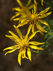 Shrubby Butterweed