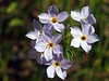 Bird's-Eye Gilia (variation)<br /> Gilia tricolor<br /> Phlox family