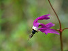 "<a href=""http://en.wikipedia.org/wiki/Dodecatheon"" title=Wikipedia>Shooting Star</a>"