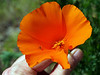 "<a href=""http://en.wikipedia.org/wiki/California_poppy"" title=Wikipedia>California Poppy</a>"