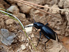 "Darkling beetles of the genus (Eleodes) have fused wing covers (elytra) and cannot fly. <a href=""http://waynesword.palomar.edu/ww0502.htm"">http://waynesword.palomar.edu/ww0502.htm</a>"