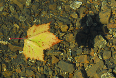 Just a sycamore leaf, water, rocks, and shadow.