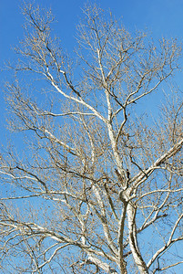 Always a sucker for white sycamore branches and a blue sky.