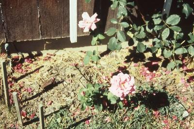 HCA-19910613-Roses 825 Briarcliff 1