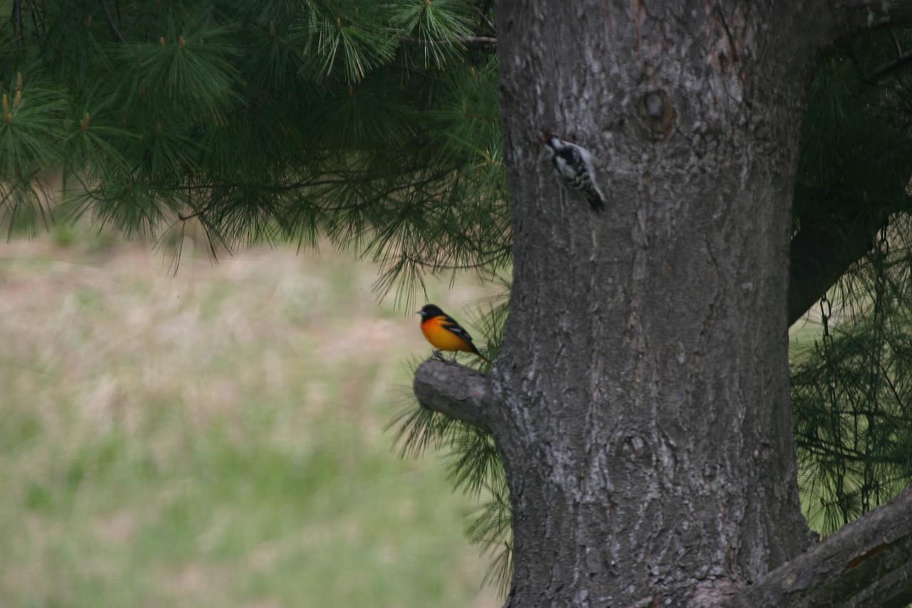 Male Oriole and a Downy Woodpecker