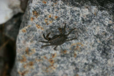 Crab on Daufuskie - there were hundreds, thousands?