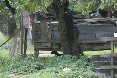goats under shed