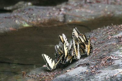swallowtail family reunion - they chose the mountains this year also