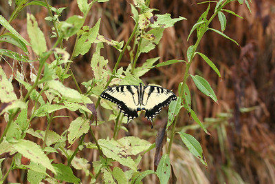 swallowtail at Chimney Rock