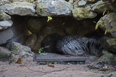 Hellabrunn - Weißschwanz- Stachelschwein