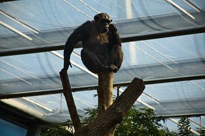 Hellabrunn - Schimpanse