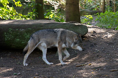 Hellabrunn - Mähnenwolf