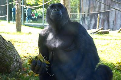 Hellabrunn - Gorilla