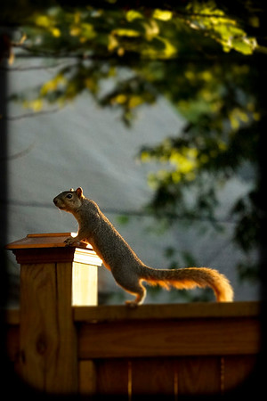 henry's squirrel