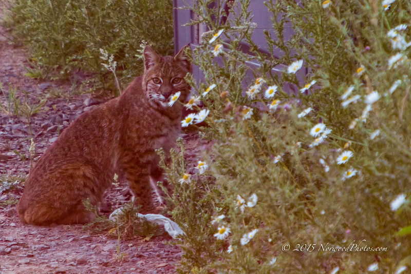Our first serious wildlife visitor after moving in got us excited.  This was shot from the rear deck on our home.