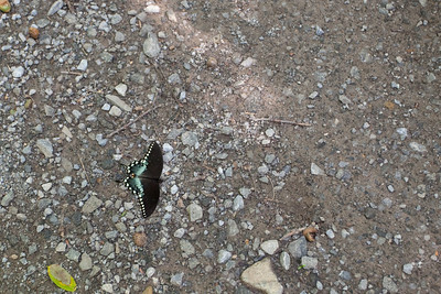 There were tons of butterflies around.  This one unfortunately was no longer living.