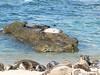 La Jolla Beach sea lions, San Diego.
