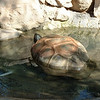 Ally the aldabra tortoise.  She is 100+ years old and didn't want to come out of the tub.