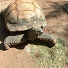 Peter the aldabra tortoise.