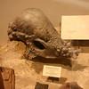 Pachycephalosaurus!