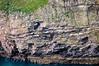 Guillemots roosting on the cliffs