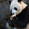 Tai Shan's holiday treat