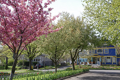 Flowering trees accompany the tulips in the boulevard