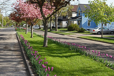 Lot's of beautiful tulips along the boulevard.