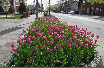 Tulips are planted and grow everywhere!