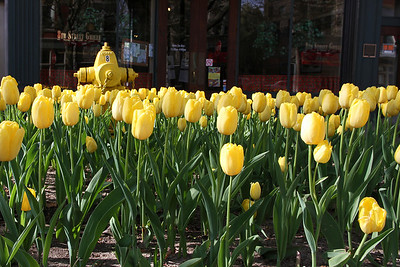 Yellow tulips accompany a yellow fire hydrant
