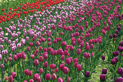 "Tulip gardens at ""Window on the Waterfront"" Park"