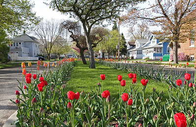 One of the many Holland Michigan streets lined with tulips