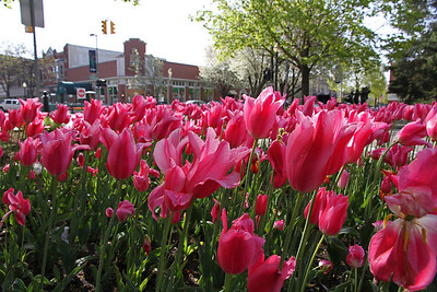 Tulip bed in the downtown area