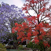 Jacaranda vs. Illawarra Flame Tree