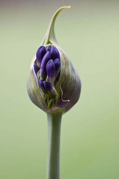 Black Panther Aggie Bulb