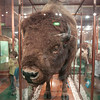 Bison !! Purchased from taxidermist for 30 pounds in 1897.