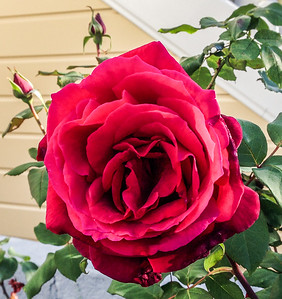 Thanksgiving Rose, 2012. It's wonderful to live where rose bushes are loaded with buds in November.