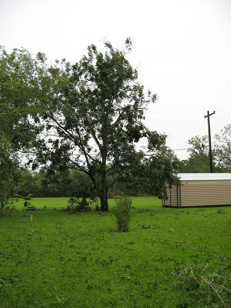 The large pecan tree in my back yard.